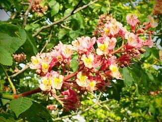 Ruby Horse Chestnut Tree